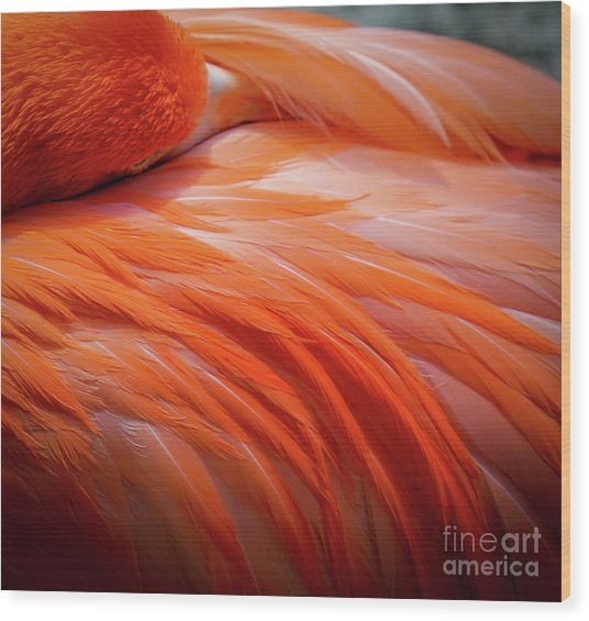 Pink Feathers Wood Print
