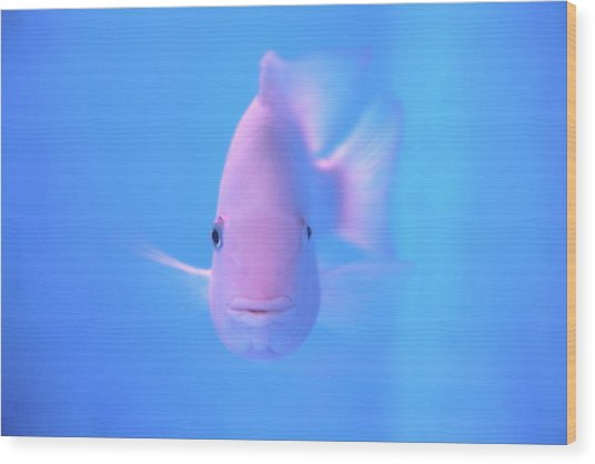 Pink Fish In Clear Blue Water Wood Print