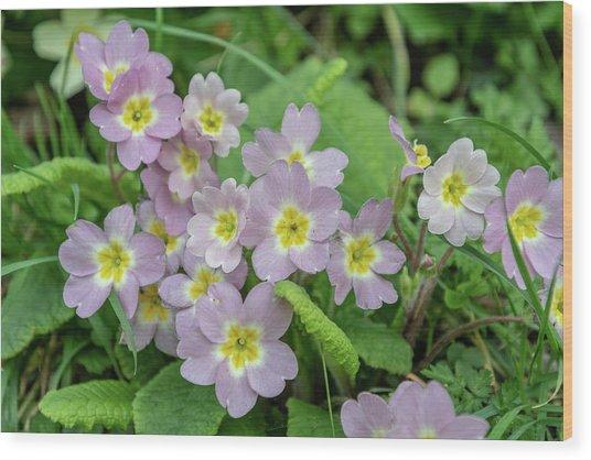 Pink Primroses In Devon Wood Print