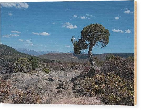 Pinyon Pine With North Rim In Background Black Canyon Of The Gunnison Wood Print