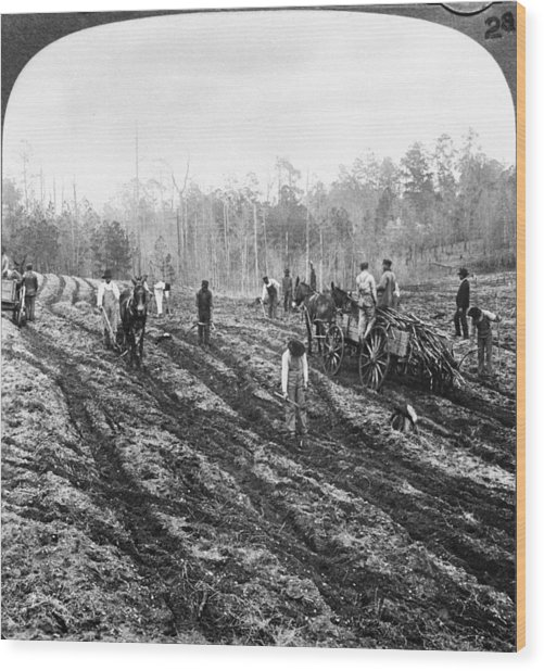 Planting Sugar Cane In Georgia Wood Print by Hulton Archive