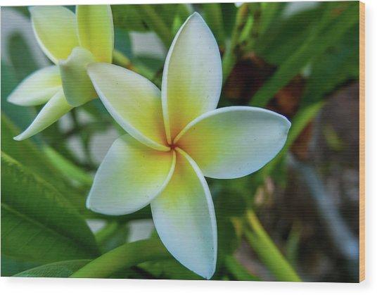 Plumeria In Bloom Wood Print