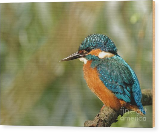 Poland In June.common Kingfisher In The Wood Print