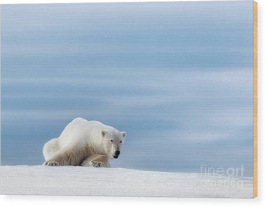 Polar Bear Crouching On The Frozen Snow Of Svalbard Wood Print