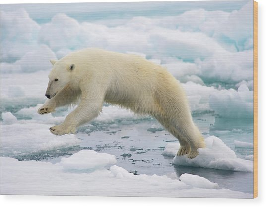 Polar Bear Jumping In The Fast Ice Wood Print by Arturo De Frias Photography