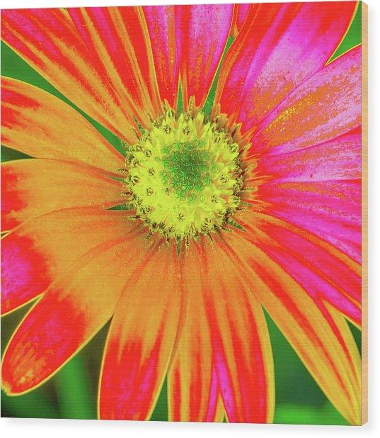 Pop Art Osteospermum 2 Wood Print