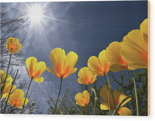 Poppies Enjoy The Sun Wood Print