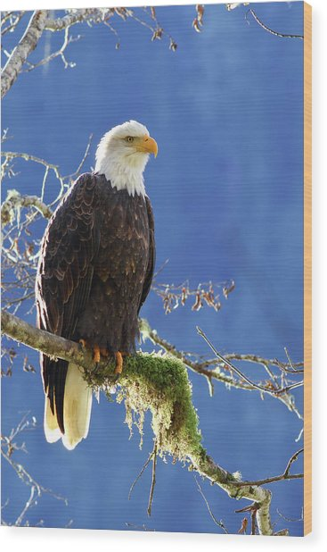 Portrait Of A Backlit Bald Eagle In Squamish Wood Print