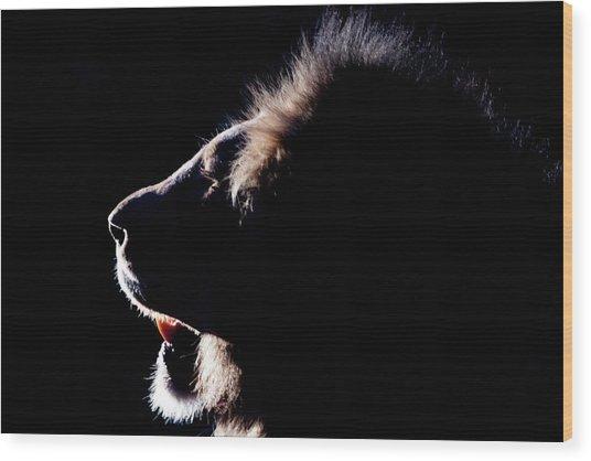 Portrait Of A Backlit Male African Lion Wood Print