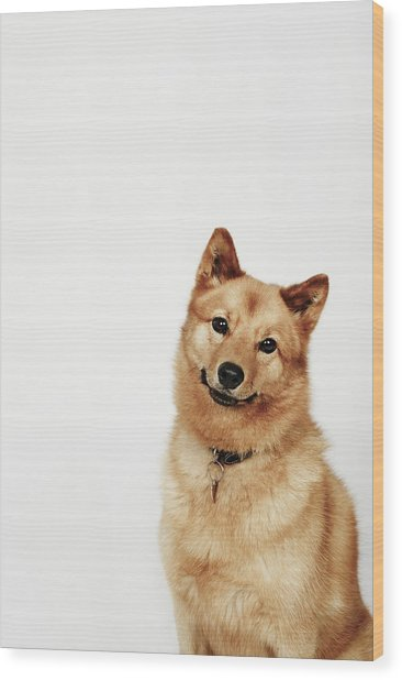 Portrait Of A Finnish Spitz Dog Smiling Wood Print by Flashpop
