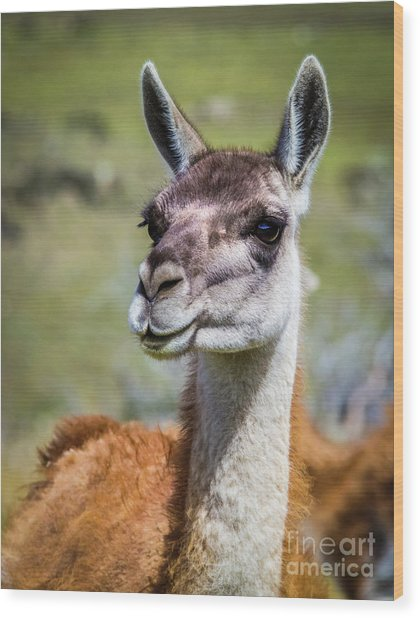 Portrait Of A Guanaco, Patagonia Wood Print