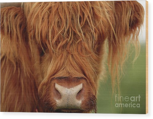 Portrait Of A Highland Cow Wood Print