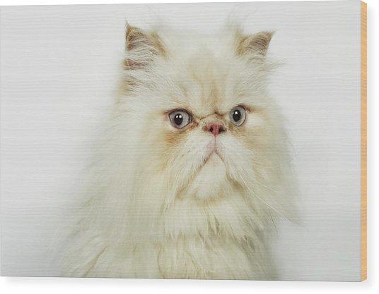 Portrait Of A Persian Cat Wood Print by Flashpop