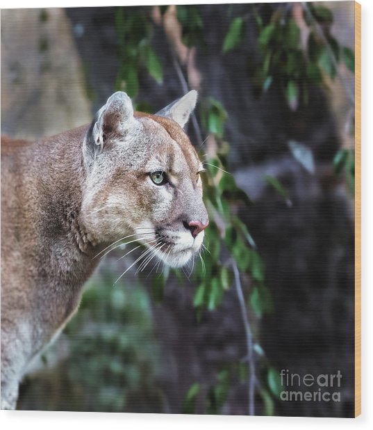 Portrait Of Beautiful Puma. Cougar Wood Print
