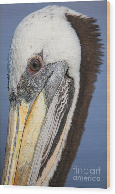Portrait Of Brown Pelican Pelecanus Wood Print
