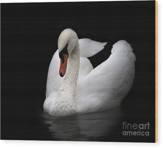 Portrait Of Whooping Swan, Isolated On Wood Print