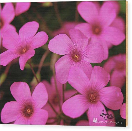 Pretty Pink Phlox Wood Print
