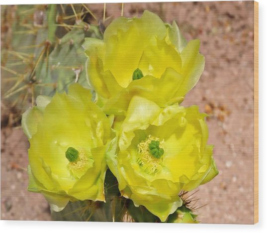 Prickly Pear Cactus Trio Bloom Wood Print