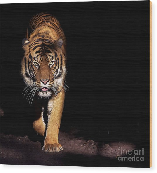 Prowling Tiger Wood Print