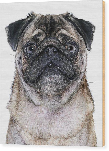 Pug Dog, Close-up Wood Print