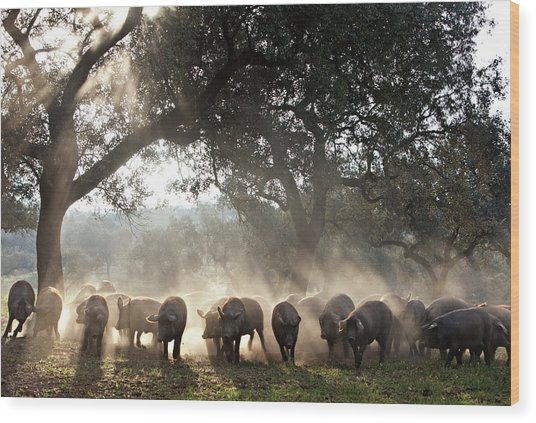 Pure Iberian Pigs Feed On Grasslands At Wood Print