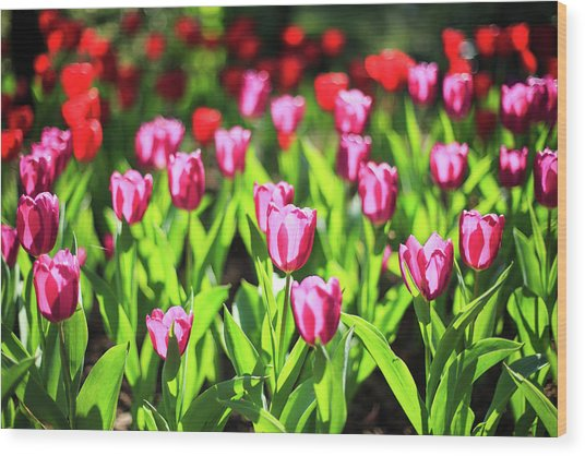 Purple And Red Tulips Under Sun Light Wood Print by Samyaoo
