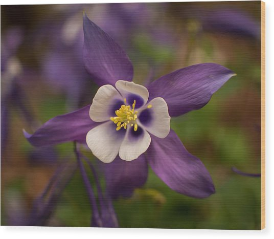 Purple Columbine Wood Print