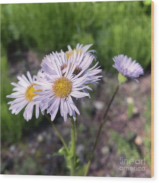 Purple Fleabane 5 Wood Print