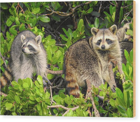 Raccoons In The Mangroves Wood Print