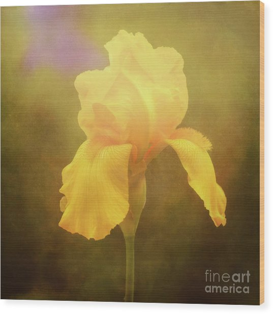 Radiant Yellow Iris With A Vintage Touch Wood Print