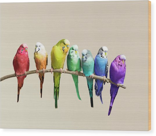 Rainbow Row Of Budgies Sat On A Branch Wood Print