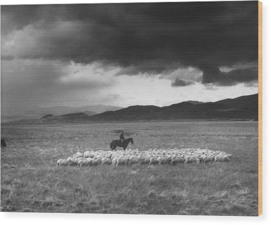 Rancher Herding Sheep At El Condor Sheep Wood Print