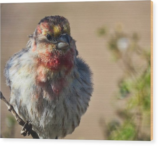 Rare Multicolored Male House Finch Wood Print