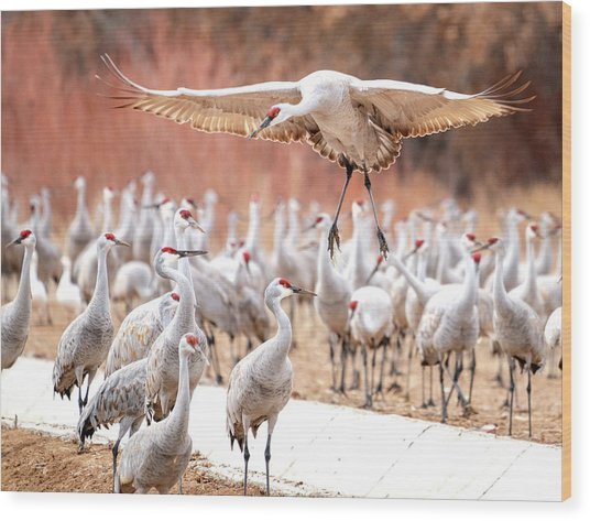Ready Or Not, Here I Come -- Sandhill Cranes Wood Print