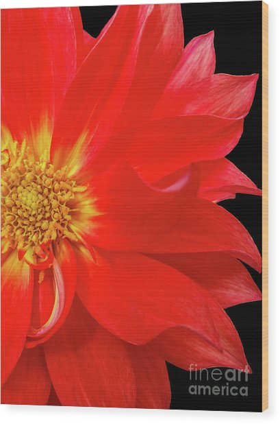 Red Dahlia On Black Background Wood Print