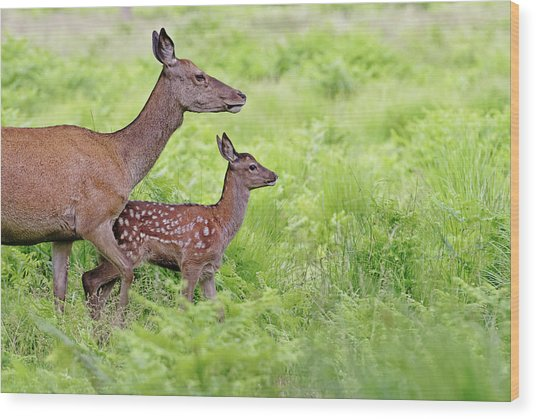 Red Deer Doe And Fawn Wood Print by Mcdonald P. Mirabile
