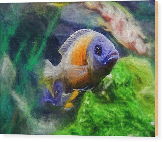 Red Fin Borleyi Cichlid Wood Print