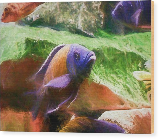 Red Fin Borleyi Cichlid Rising Wood Print