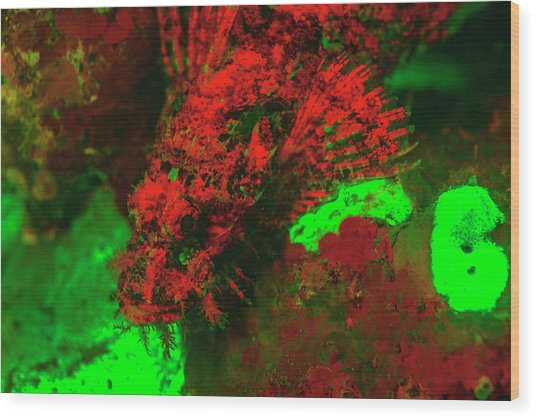 Red Fluorescing Scorpionfish Surrounded Wood Print by Stuart Westmorland