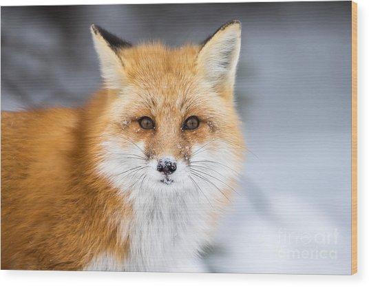 Red Fox, Vulpes Vulpes, In A Snowy Wood Print