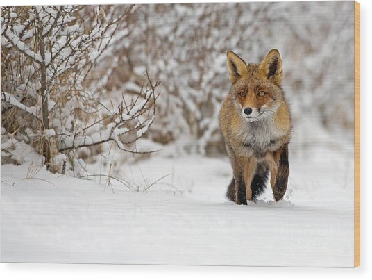 Red Fox Walks Through The Snow Wood Print