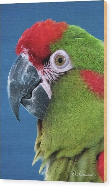 Red-fronted Macaw 3761 Wood Print