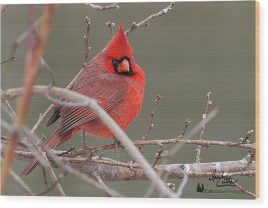 Red In Winter Wood Print