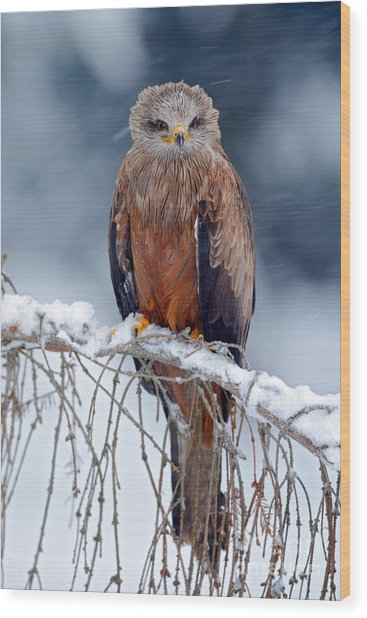 Red Kite, Milvus Milvus, Sitting On The Wood Print
