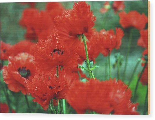 Red Poppies In Nature, Close Up Wood Print