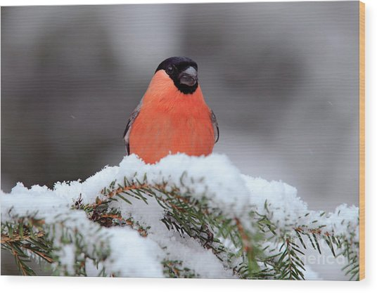 Red Songbird Bullfinch Sitting On Snowy Wood Print