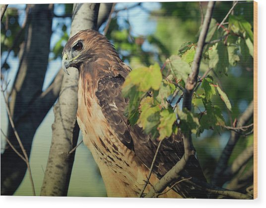 Red-tailed Hawk Looking Down From Tree Wood Print