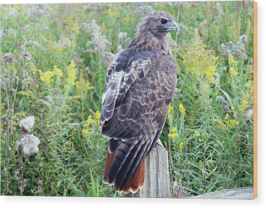 Red-tailed Hawk On Fence Post Wood Print