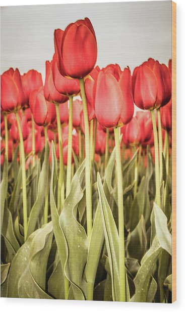 Wood Print featuring the photograph Red Tulip Field In Portrait Format. by Anjo Ten Kate