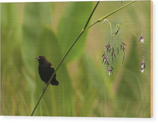 Red-winged Blackbird On Alligator Flag Wood Print